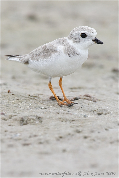 piping-plover-img_8844mw